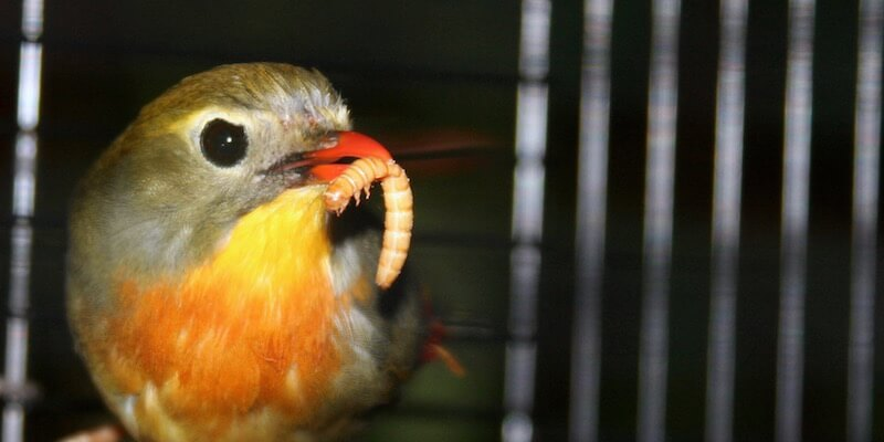как кормить певчих насекомоядных птиц