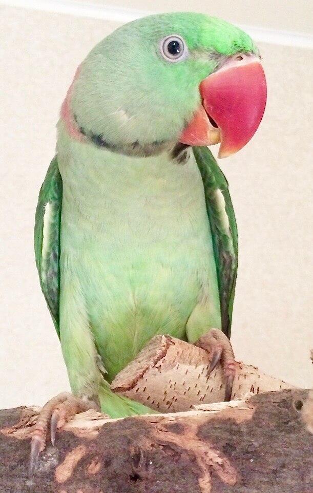 самец выкормышь александрийского попугая , возраст 1 год.