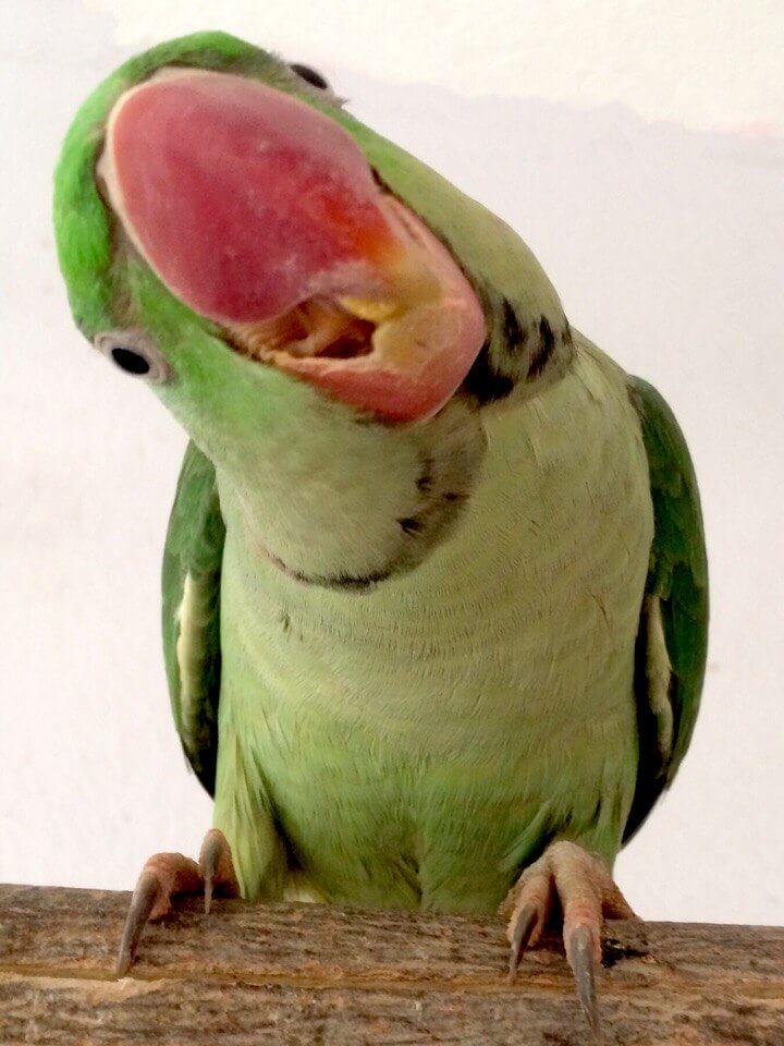 александрийский попугай пробует гранулы fiory