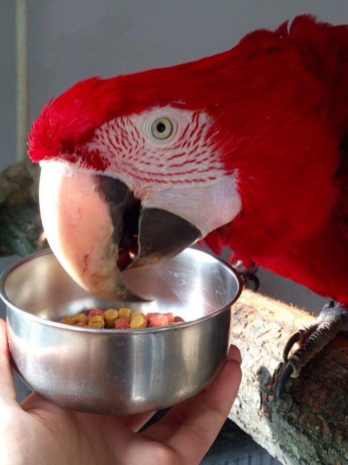 попугай ара пробует гранулированный корм fiory