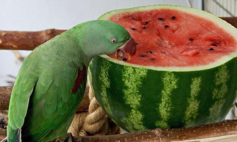 как давать арбуз попугаям
