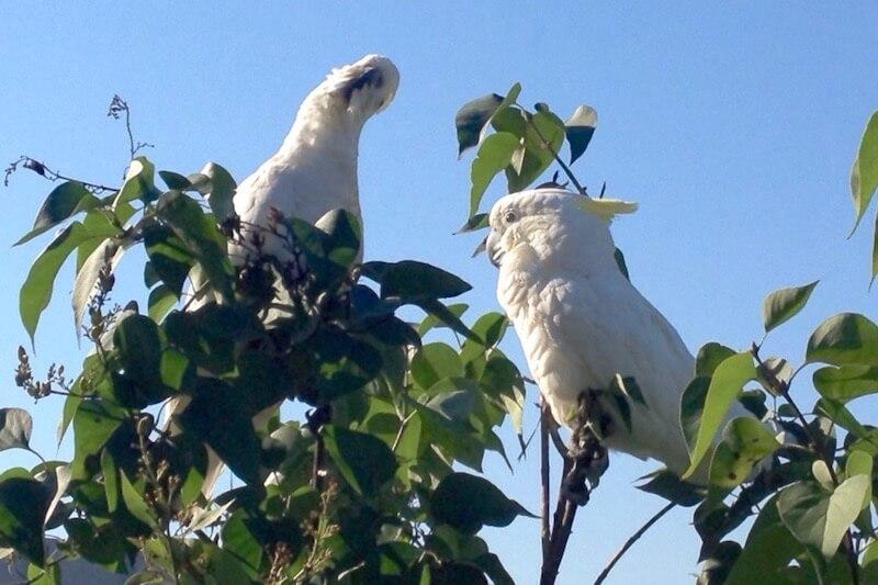 попугаи какаду сидят на кусте сирени