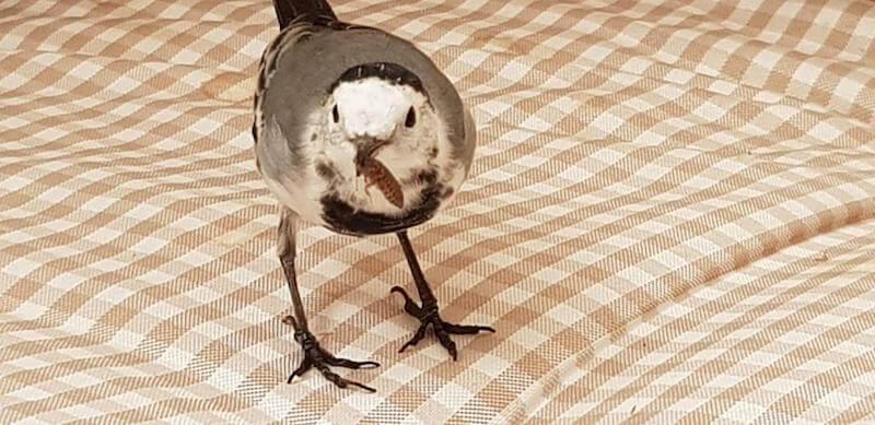 кормление певчих птиц насекомыми