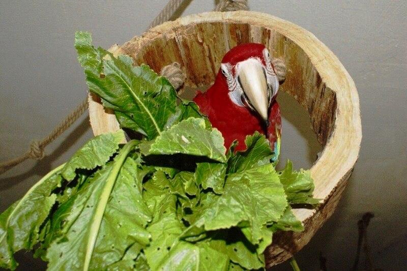 кормление попугая ара зеленью хрена