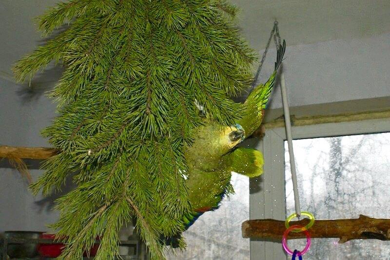 как давать сосновые ветки попугаю амазону.