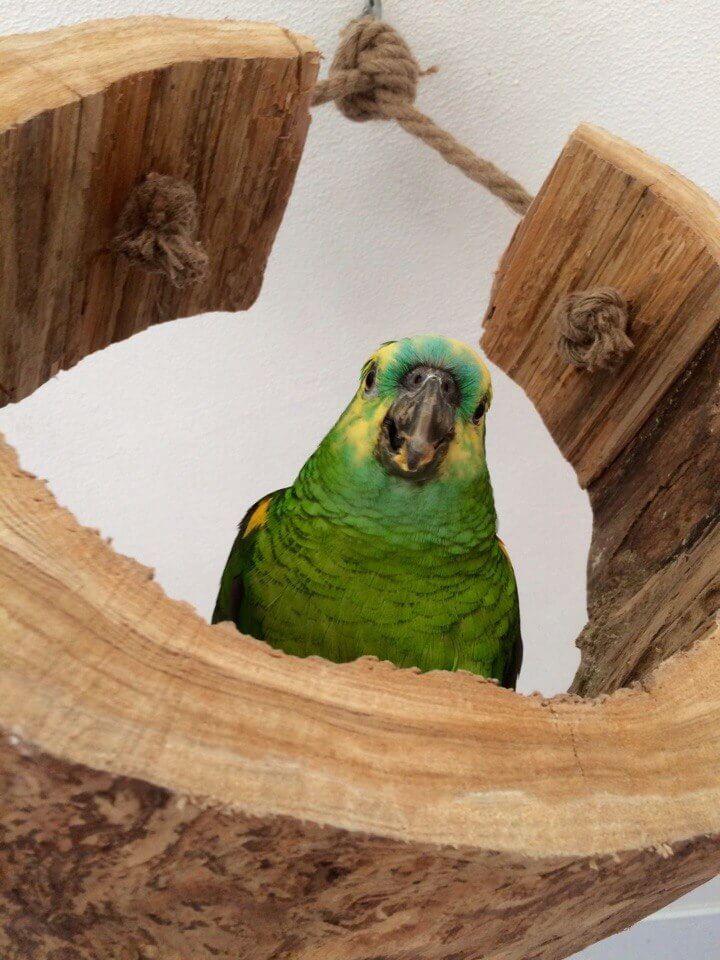 попугай амазон пробует гранулированные корма fiory
