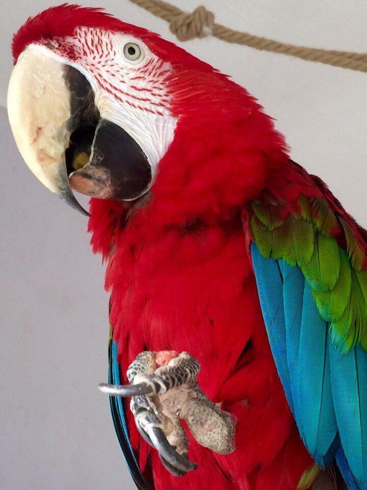 попугай ара пробует гранулы fiory
