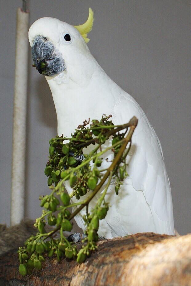 попугай какаду ест семена сирени