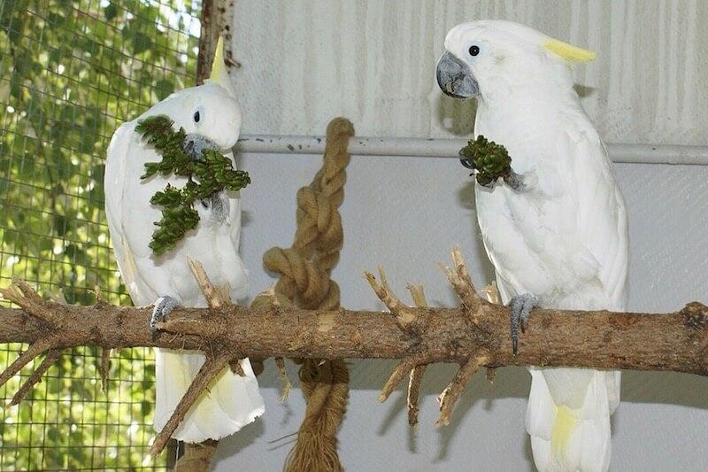 попугаи какаду едят семена сирени в стручках