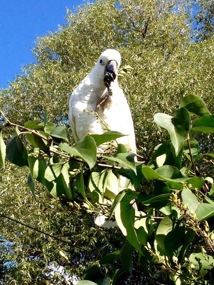 попугай какаду кормится семенами сирени