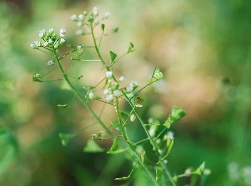 трава и цветы пастушьей сумки для попугаев и попугайчиков
