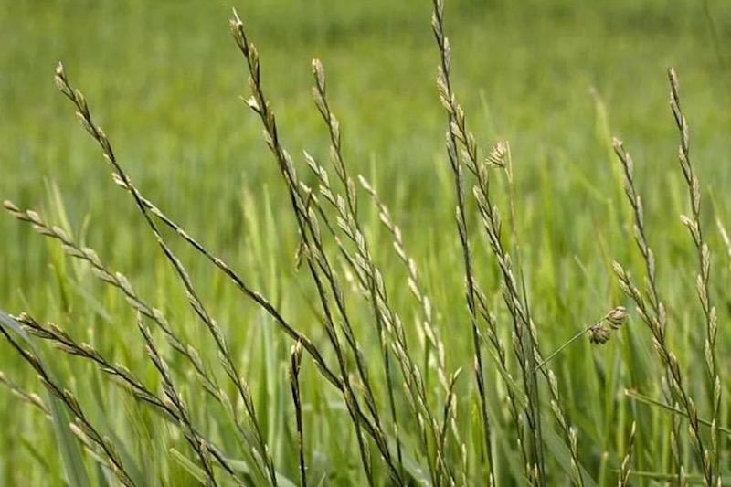 трава райграса для попугаев