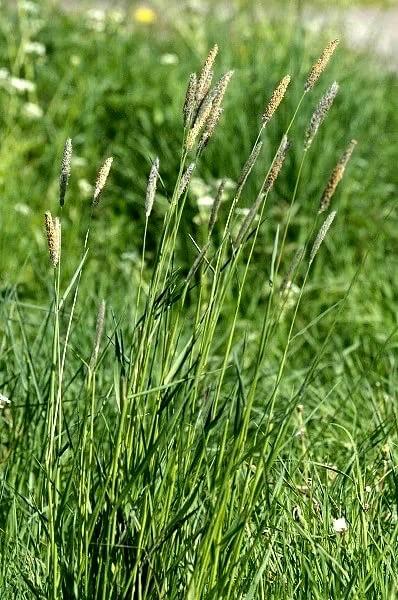 трава злака тимофеевки для попугая