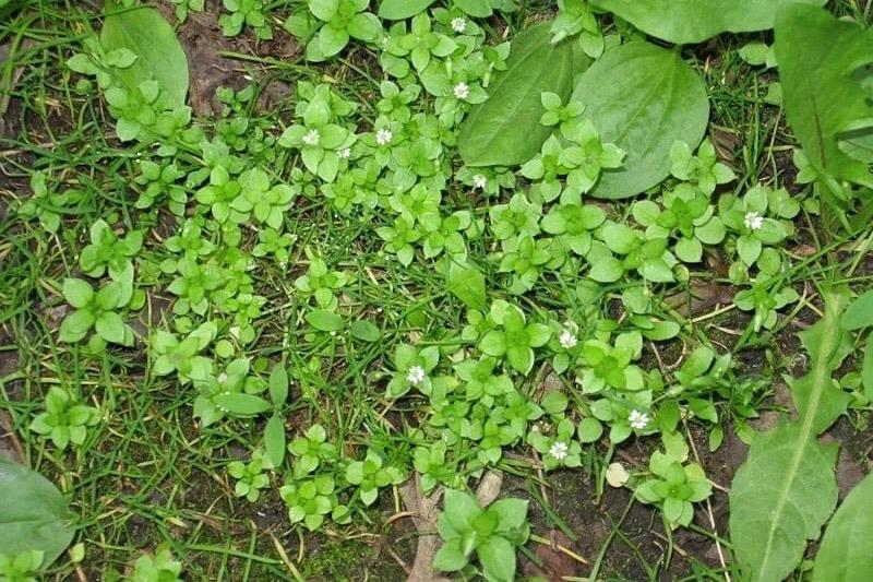 трава мокричника или мокрицы для попугаев и попугайчиков