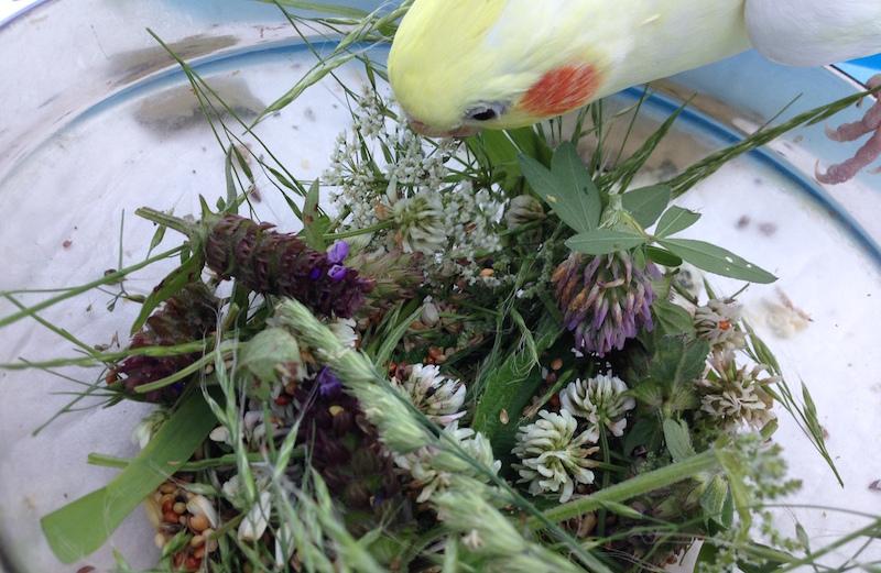 травы для попугая кореллы