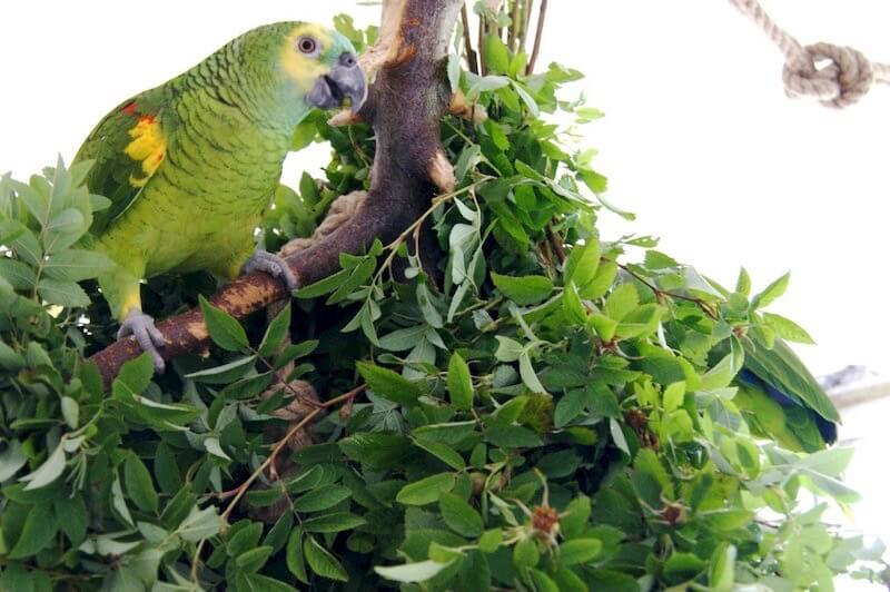 как давать ветки для попугая амазона