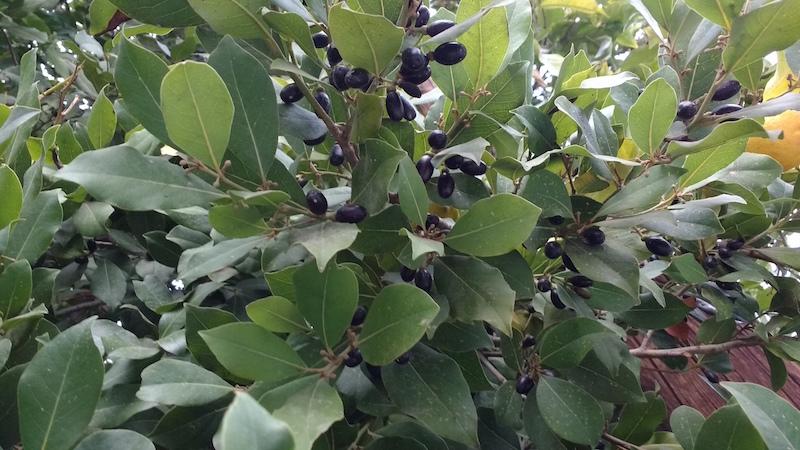 лавр плоды и листья для попугая жако