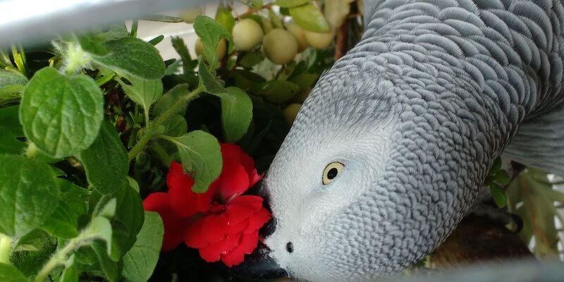 Можно и нужно ли давать пряные травы и специи попугаям.
