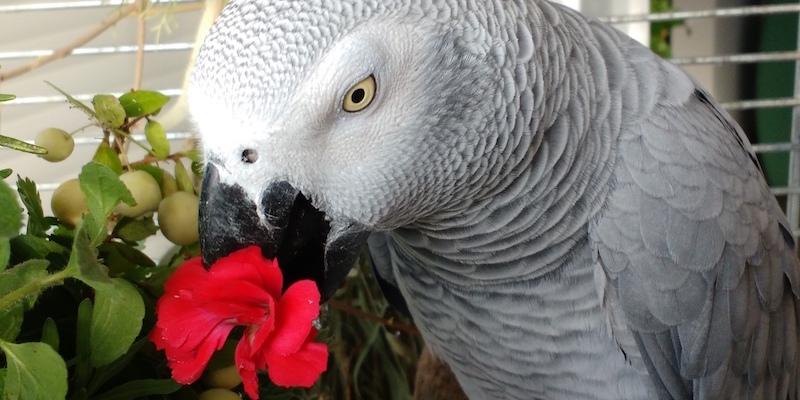 попугай жако ест цветы гвоздики
