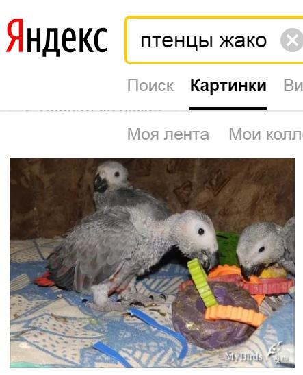 больные птенцы жако