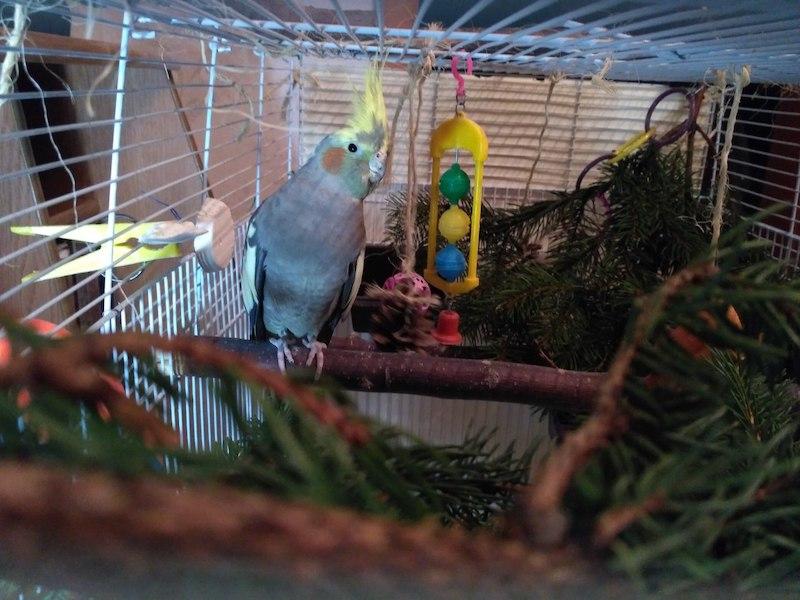 елка для попугая кореллы
