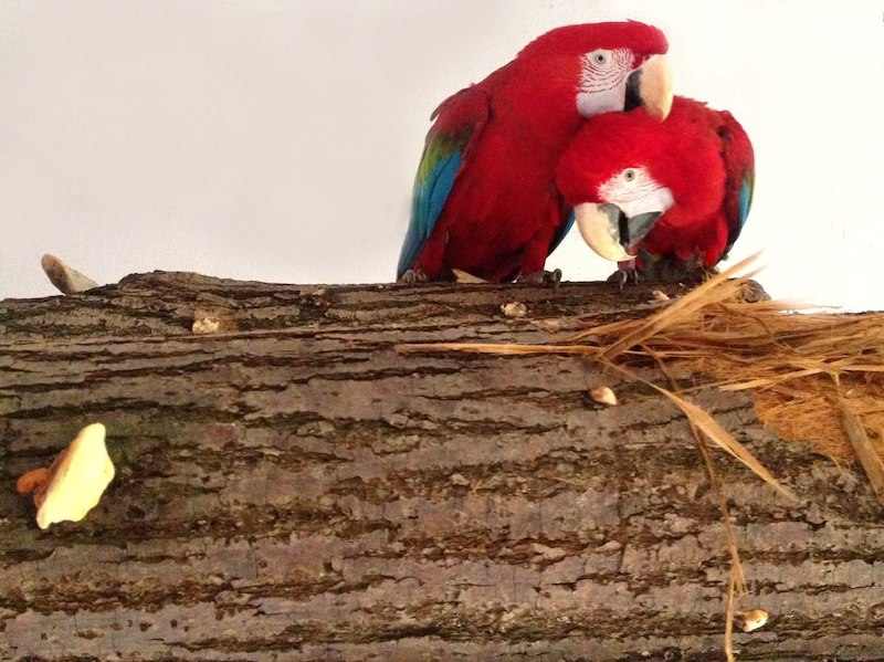 самец и самка зеленокрылых ара