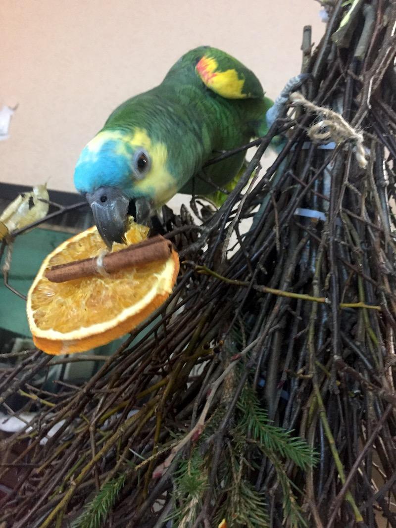 попугай амазон кормится сухим апельсином на самодельной елке из веток
