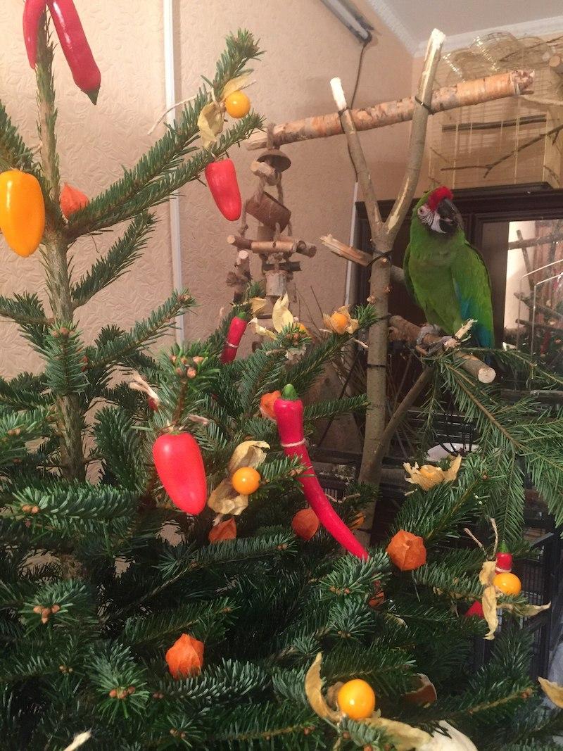 попугай ара ест елку