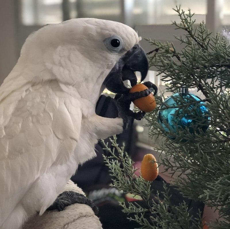 попугай какаду ест кипарис
