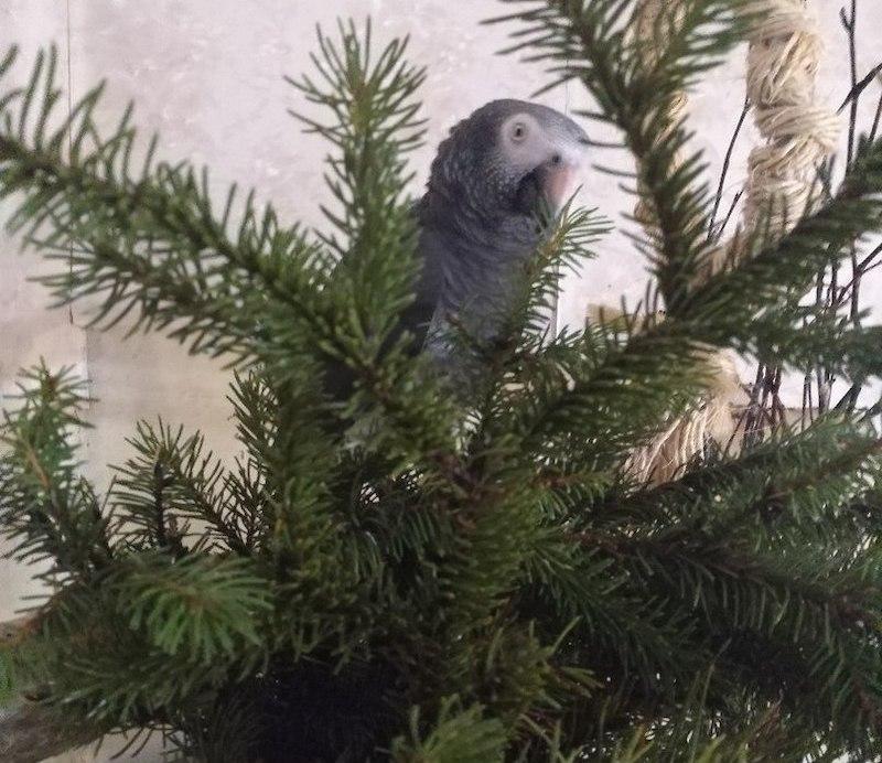 елка для попугая жако