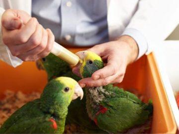 птенцы попугаев выкормыши