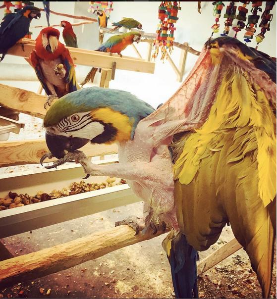 больной сине-желтый ара в приюте для попугаев
