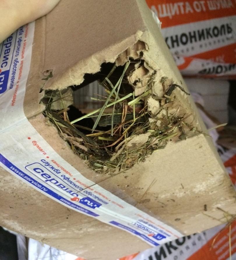птенец сокола пустельги погрыз картонную коробку