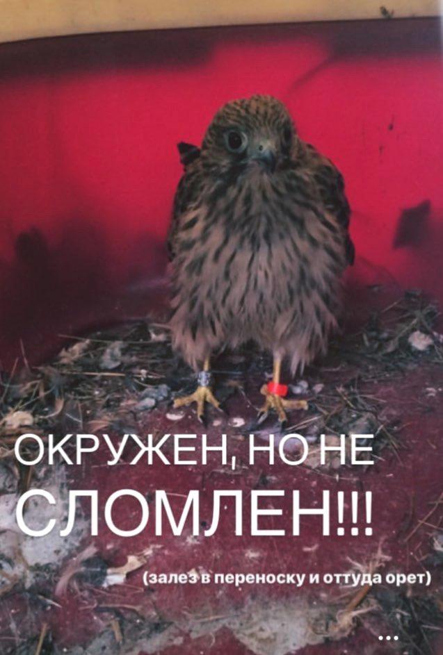 птенец сокола пустельги постоянно кричит