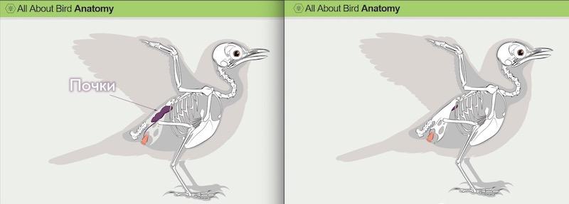 анатомия почек птиц