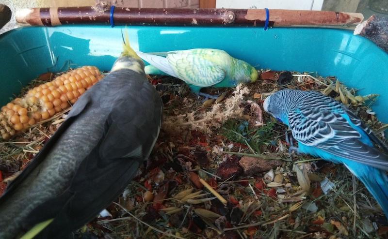 копошилка для волнистых попугаев, корелл